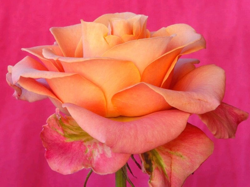 Roe épanouie orange et rose